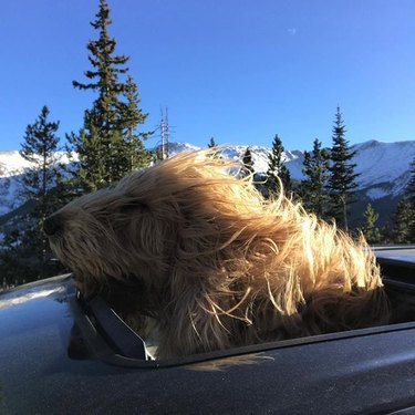 Otterhound in car