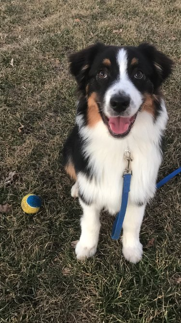 Big dog looking at the camera with ball next to him