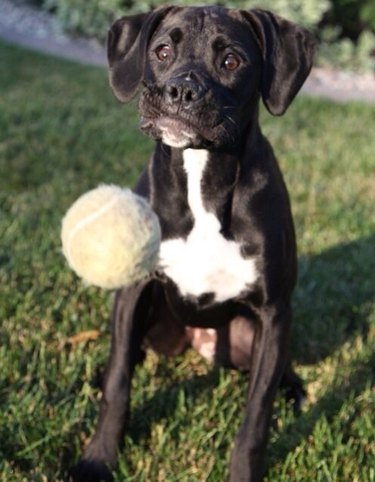 Tennis ball flying towards concerned dog.