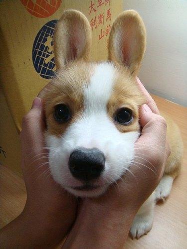 Corgi puppy with ears held back to look like rabbit's ears.