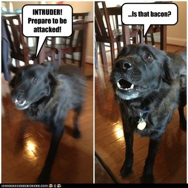 Dog stops for bacon.