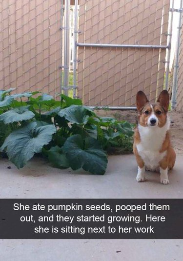 Corgi sitting next to pumpkin vine. Caption: She ate pumpking seeds, pooped them out, and they started growing.