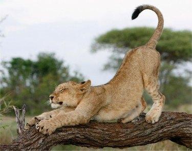 Lioness stretching