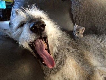 Kitten watches big dog yawn.