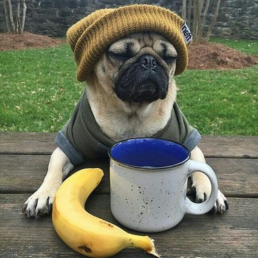 Dog in beanie and t shirt, sitting in front of a mug and banana.