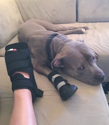 Pitbull wearing walking cast to match photographer's cast.