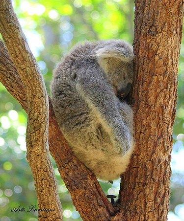 Koala asleep in a tree