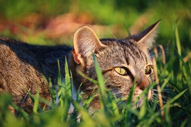 cat stalking in grass
