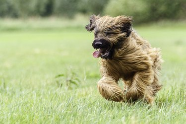 Briard Dog Breed Facts & Information