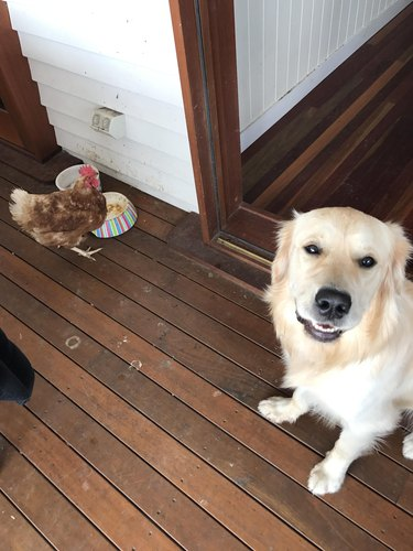 Chicken eating out a dog's bowl
