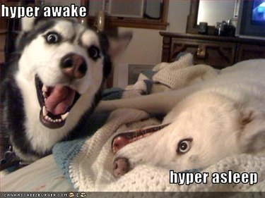 Excited Husky standing next to excited Husky lying down. Caption: hyper awake, hyper asleep