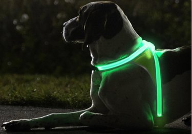 Dog wearing Noxgear illuminated and reflective harness