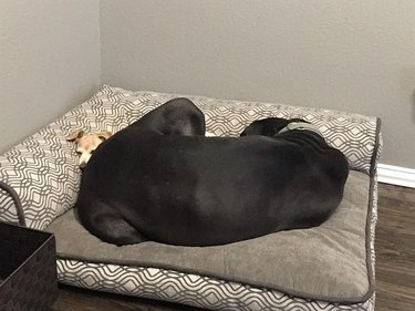 Small white dog mostly hidden underneath large black dog