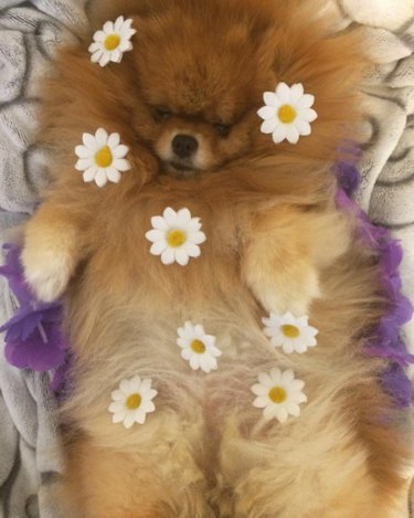 Pregnant dog covered in flowers