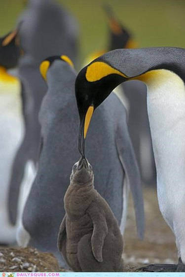 Penguin feeds chick.