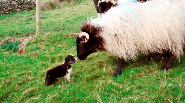 Watch as 4-week-old border collie puppies learn to herd sheep for the first time