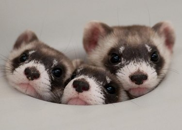 Three ferrets squished together.