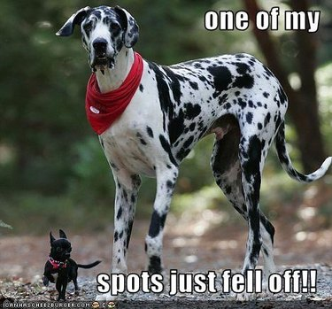 Spotted Great Dane stands next black chihuahua.