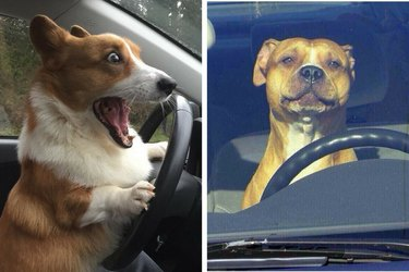 16 Reasons Why We're Pretty Sure That Driving Dogs, Not Driverless Cars, Are The Future