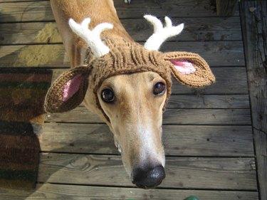 Dog dressed as a reindeer.