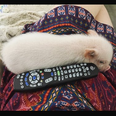 Piglet on someone's lap next to a universal remote.