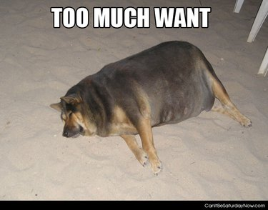 dogs who ate too much
