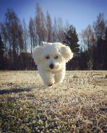 Running white dog