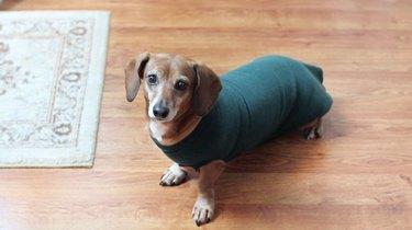 Dachshund wearing a sweatshirt