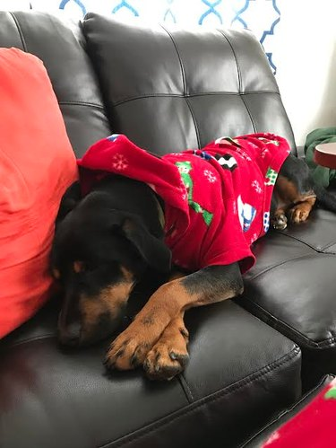 Rocky wearing a red sweater and curled up on a couch.