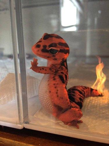 Gecko photoshopped to look like Charmander.