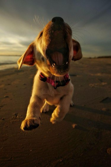 Puppy running towards photographer with mouth open