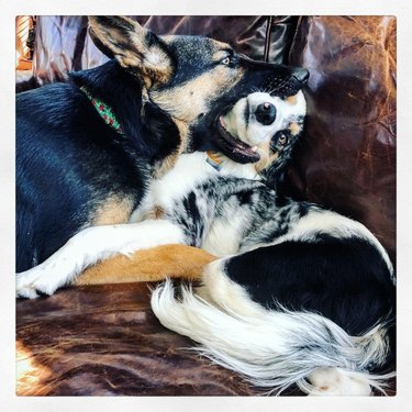 Dogs cuddling, one has the other dog's face in his mouth