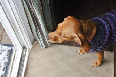 Dog in sweater looking out window.