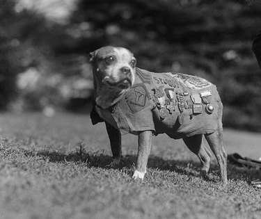Sergeant Stubby, the most decorated dog of World War I