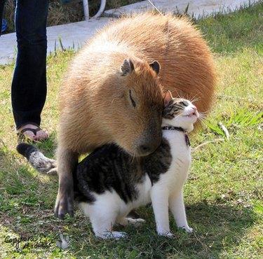 Capybara nuzzling cat.