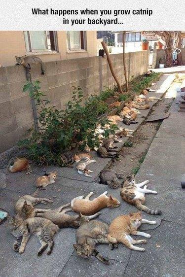 Catnip yard