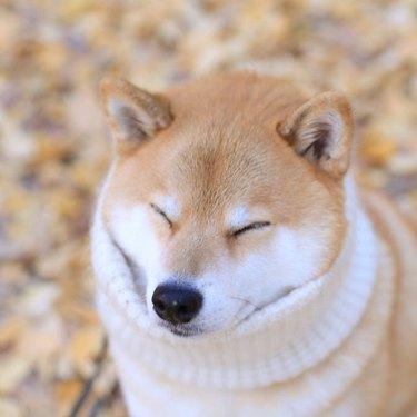Shiba Inu wearing white turtleneck.
