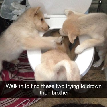 Puppies pushing another puppy into a toilet