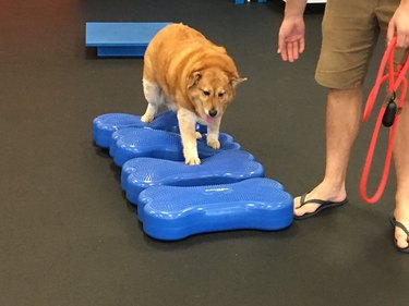 This Obese Golden Retriever Is Getting Back into Shape by Hitting the Gym