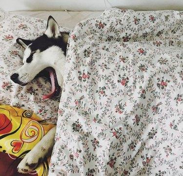 100+ fab names perfect for a Siberian husky dog