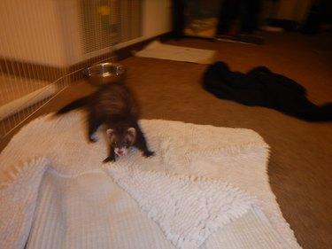 Blurry photo of a ferret.