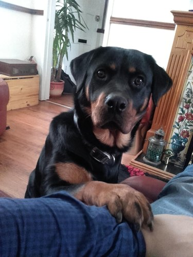 Concerned looking Rottweiler places paw on arm of photographer.