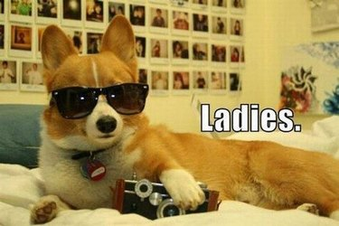 Corgi with camera and sunglasses lying on bed. Caption: Ladies.