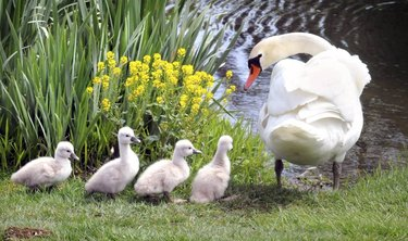 Swan with cygnets.