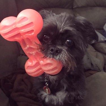 dog holds giant toy bone