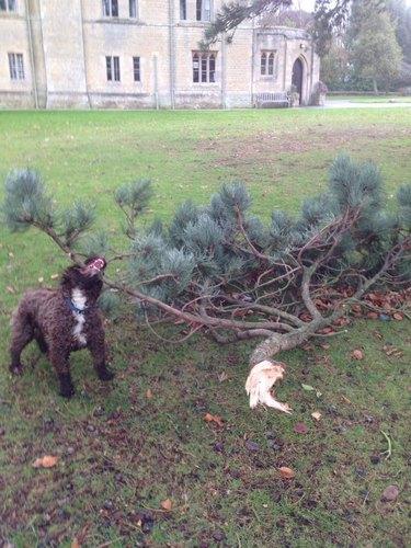 dog pulls large tree branch