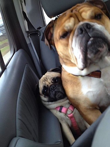 Two dogs sitting in a car, but one is kinda sitting ON the other dog
