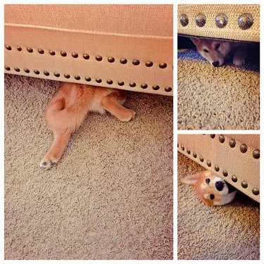 Dog trying to hide under furniture.