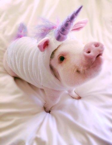 Pig in unicorn costume.
