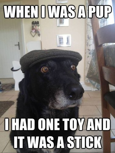 Dog in newsboy cap with gray muzzle